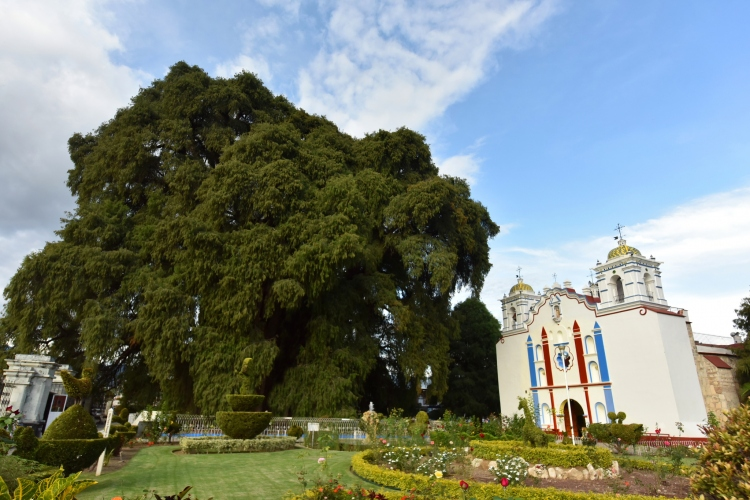 Arbol de Tule y Church