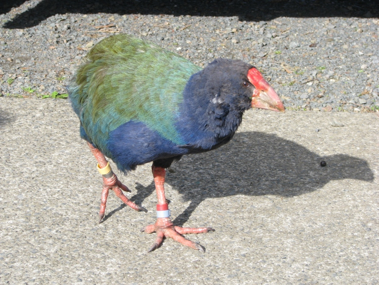 Greg the Naughty Takahe on Tiritiri Matangi
