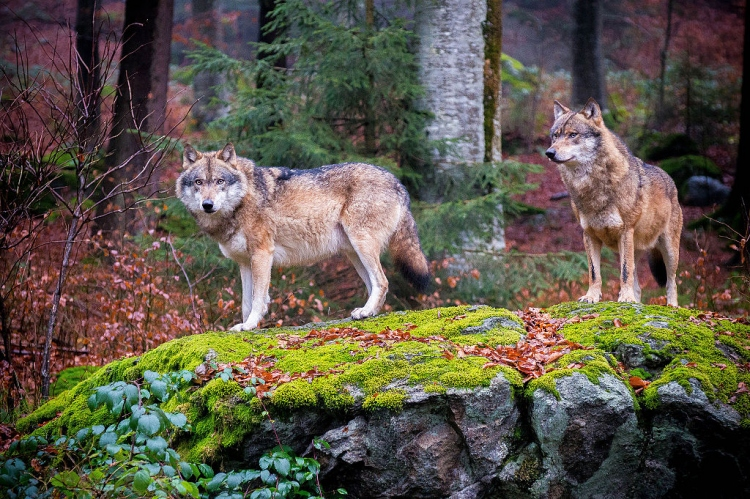Grey wolves in Bavarian Forest National Park