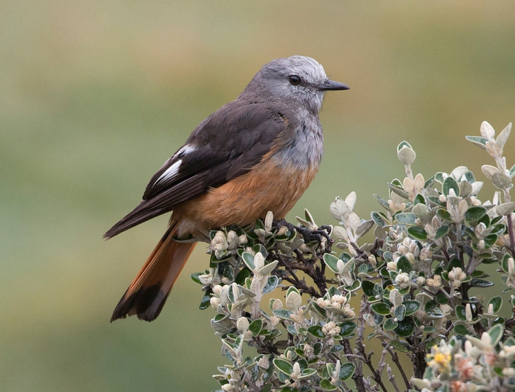 Red-rumped-Bush-tyrant
