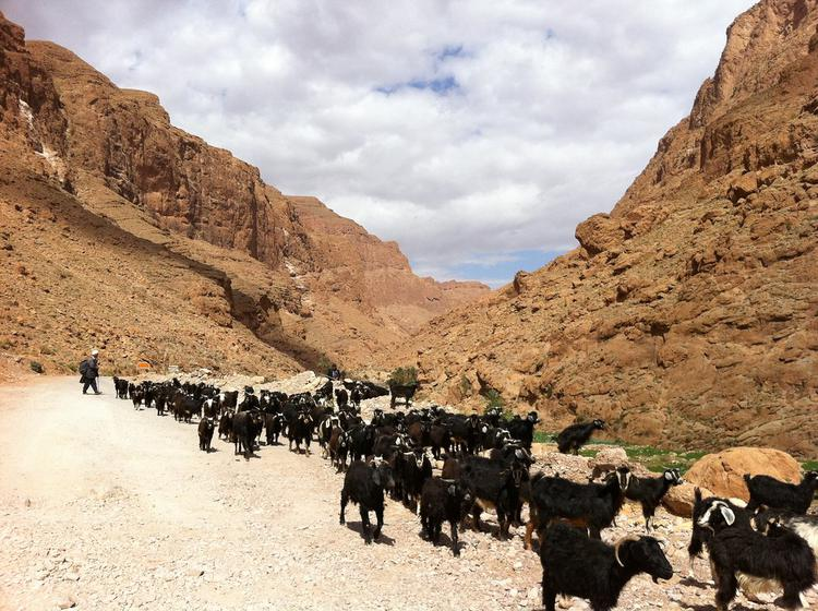 Goats in the Todra gorge (image)
